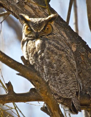 A Great Horned Owl at Twin Lakes