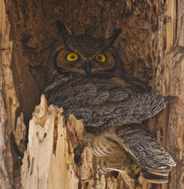 A Great Horned Owl on its Nest