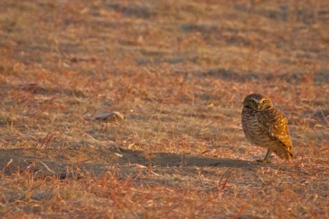 A Burrowing Owl Stands Next to its Home on the Lek
