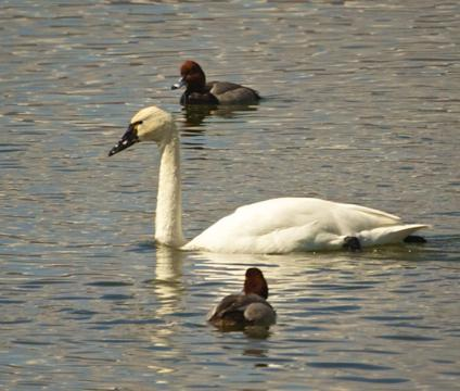 A Tundra Swan and Friends