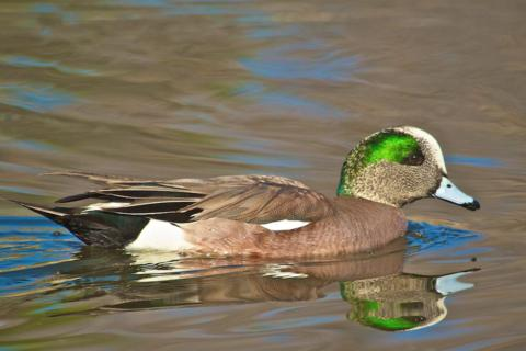 An American Wigeon