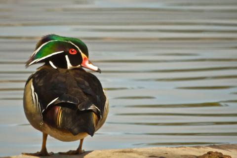 The Same Wood Duck on the Lake's Raft