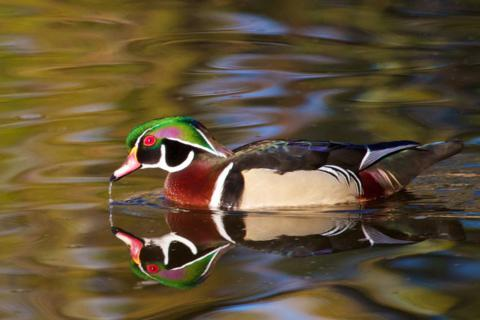 A Wood Duck on the Lake