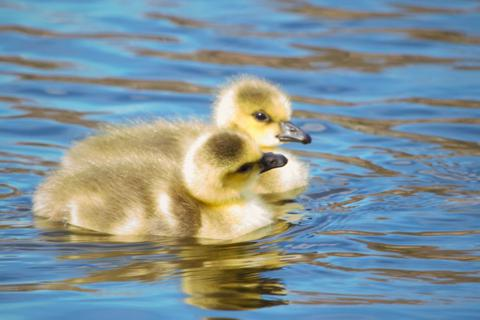 Two Goslings Stick Together