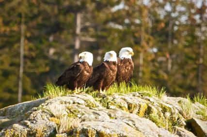 Three Bald Eagles Watch in Three Directions