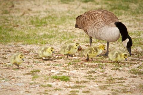 Mama Goose and Her Five Goslings