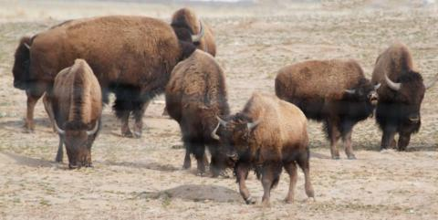 A Herd of Bison at Home on the Arsenal's Range