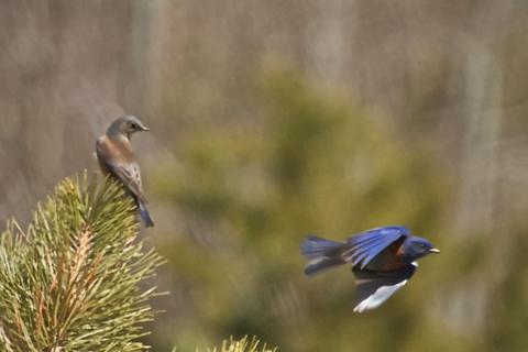 A Female Western Bluebird Watches Her Mate Fly
