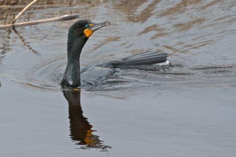 The Double-Crested Cormorant Lacks its Crest at This Time of Year