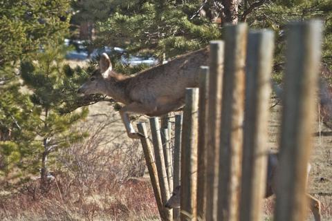 One Deer Jumps a Fence While a Smaller One Goes Through It