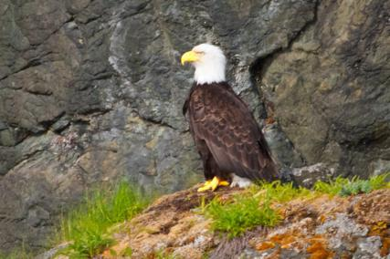 A Bald Eagle Watches