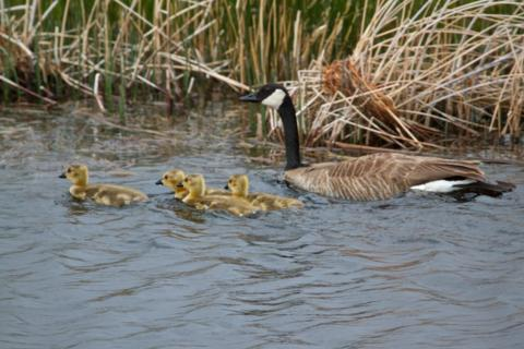 Mama Canada Goose and Her Four Goslings