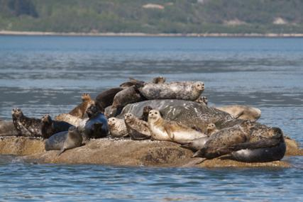Harbor Seals at Rest