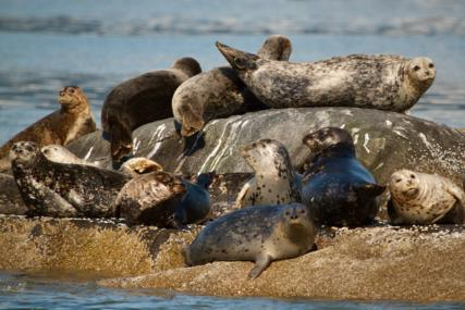 A Closer Look at a Pod of Harbor Seals