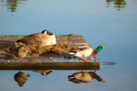 A Pair of Mallards Visit