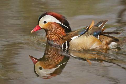 A Male Mandarin Duck at Clear Creek