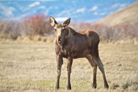 A Young Moose in Arapahoe National Wildlife Refuge
