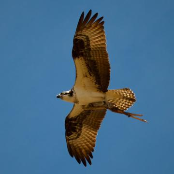 An Osprey Carrying a Stick
