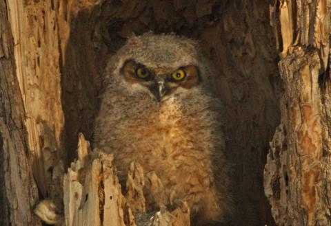 A Great Horned Owlet