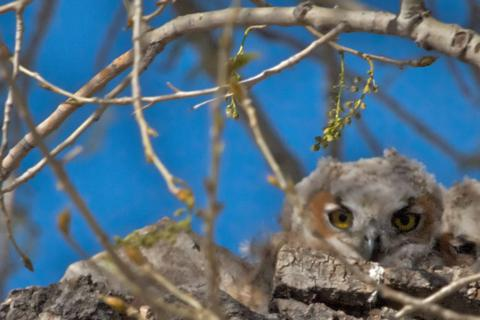 A Great Horned Owlet in its Nest at the Arsenal