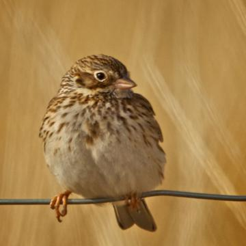A Little Song Sparrow