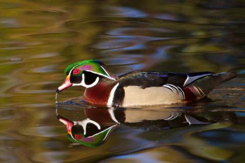 A Wood Duck Visits Tantra Lake
