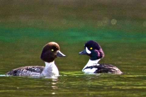 A Female (left) and Male Barrow's Goldeneye