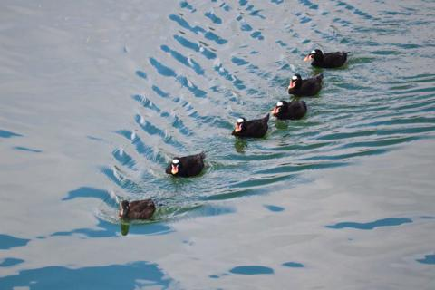 Five Male Surf Scoters Follow a Female