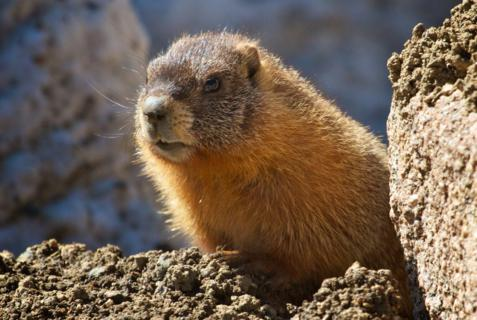 This Yellow-bellied Marmot isn't Cowardly