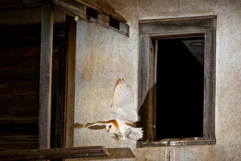A Barn Owl Flies Out the Window