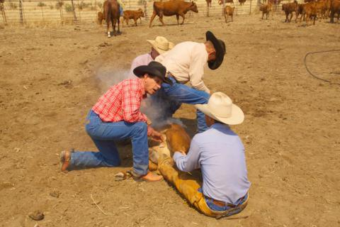 Three or Four Ranchers Need to Hold Down a Calf
