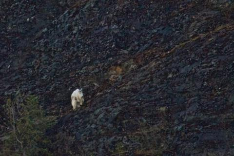 A Dall Sheep on the Steep Mountainside above Nugget Falls