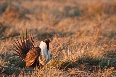 A Male Greater Sage-Grouse Displays