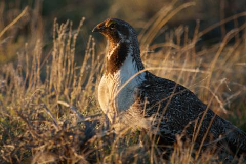 A Female Greater Sage-Grouse