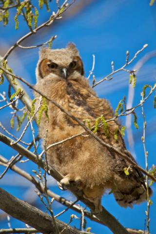 A Great Horned Owl Fledgling