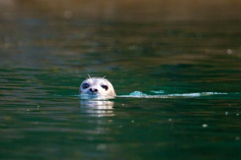 A Harbor Seal from the Kayak