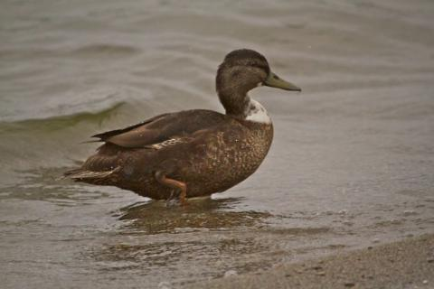 A Manky Mallard at the Beach