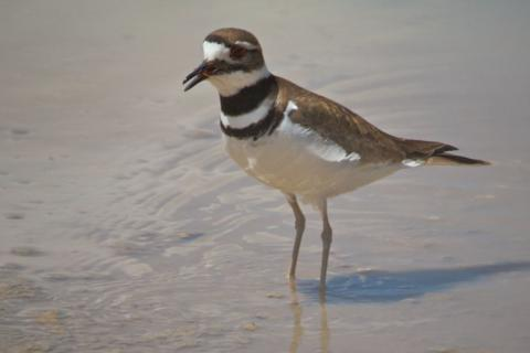 A Killdeer Mainly Eats Insects, not Deer