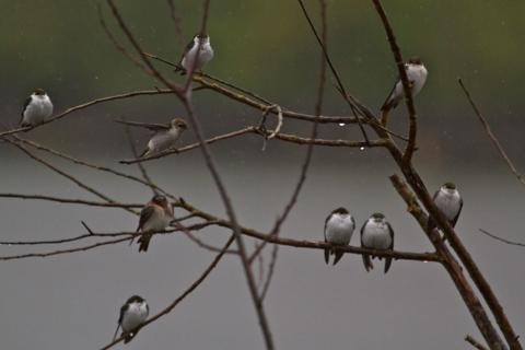 Nine Swallows in a Tree