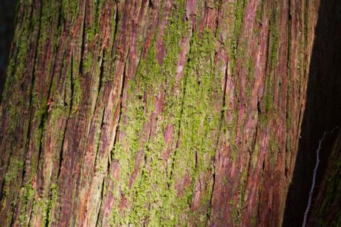 A Red Cedar Close Up