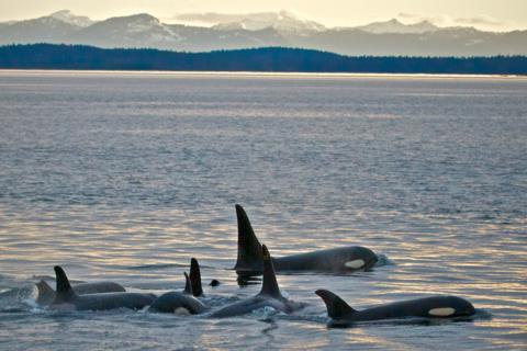 Many Orcas