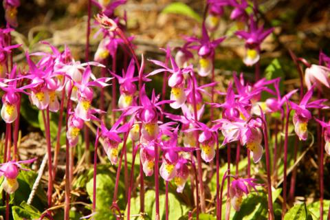 A Few Fairy Slipper Orchids