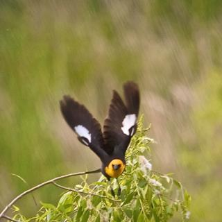 A Bullock's Oriole Flies Toward Me