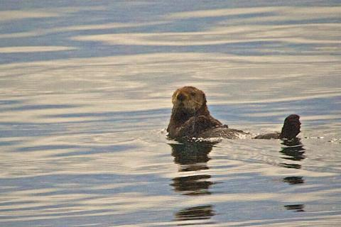 A Sea Otter in the Chatham Strait