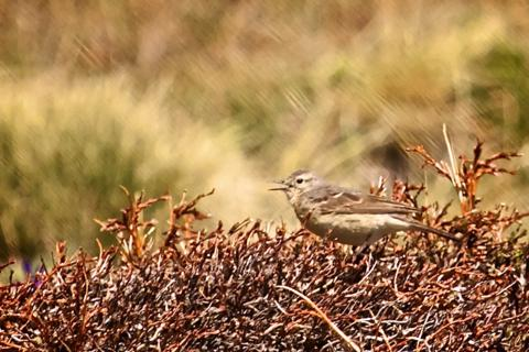 An American Pipit Chirps