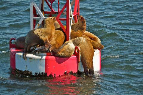 A Crowd of Sea Lions