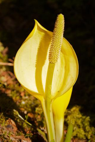 A Skunk Cabbage in Flower Looks Prettier than it Smells