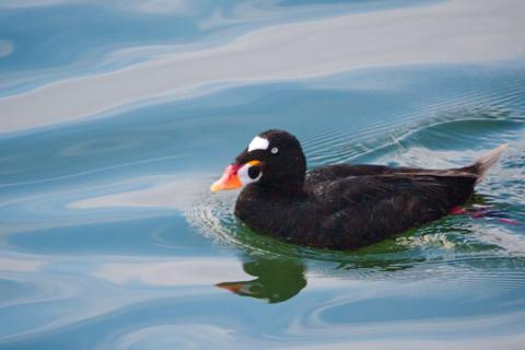 A Surf Scoter