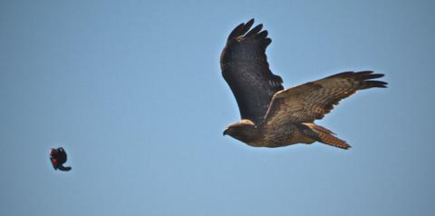A Swainson's Hawk Attacks a Small Bird; It Missed