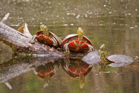 Turtles Bask in the Sun
